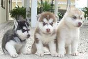 Отлично Сибирский хаски щенки
