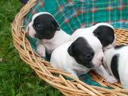 красивые щенки французского бульдога ищет новый дом.